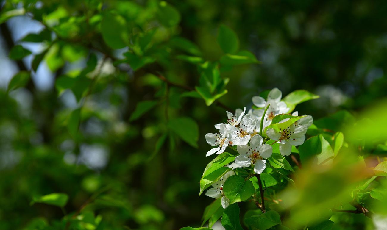 PGH_1303.콩배나무.jpg